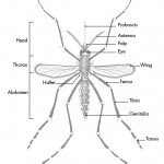 структура на комара