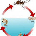 жизнен цикъл при комарите